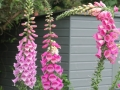 gathering pf foxgloves